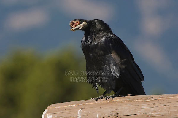 Common Raven, Corvus corax, adult with food, Grand Teton NP,Wyoming, USA