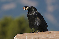 Common Raven, Corvus corax, adult with food, Grand Teton NP,Wyoming, USA