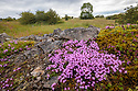 Thyme (Thymus serpyllum) growing on lead mining spoil heap. Peak District National Park, Derbyshire. July.