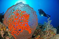 Latrunculia magnifica, Negombata magnifica, Pracht-Feuerschwamm auf Gorgonie mit Taucher am Korallenriff, scuba diver with giant sea fan and red fire sponge, Pemuteran, Bali, Indonesien, Asien, Indopazifik, Indonesia, Indo-Pacific Ocean, Asia