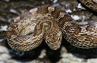 Bullsnake, Pituophis catenifer sayi, adult, Willacy County, Rio Grande Valley, Texas, USA, May 2004