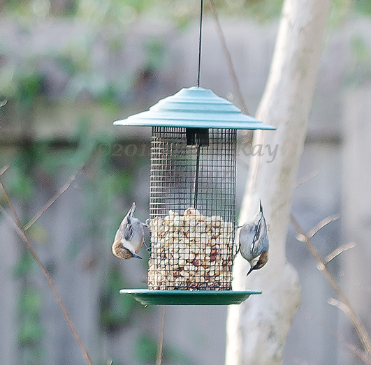 Brown-headed Nuthatch pair at feeder