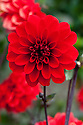 Dahlia 'Grenadier', early August.