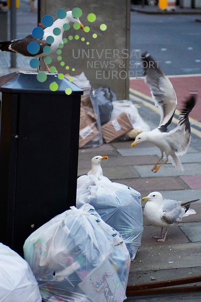 Edinburgh Seagulls rip open rubbish bags in presigious George Street, home to some of Edinburgh's finest restraunts and hotels. In doing so, the Seagulls ensure a plentyfull supply of food is available for other pests. Edinburgh, Scotland, 25th July 2012. .Picture:Scott Taylor Universal News And Sport (Europe) .All pictures must be credited to www.universalnewsandsport.com. (Office)0844 884 51 22.