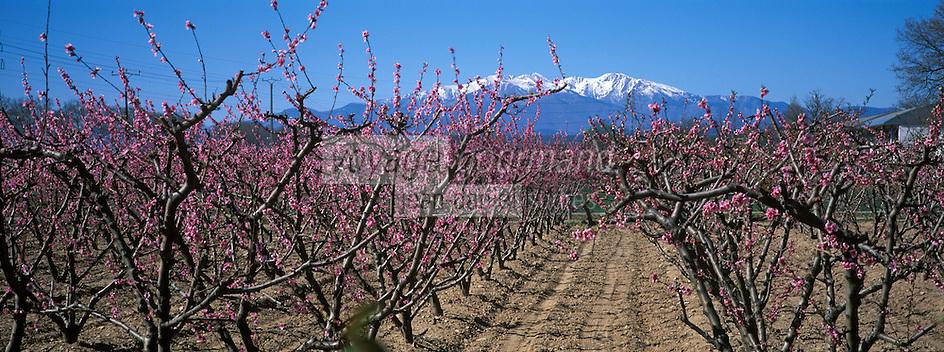 Europe/France/Languedoc-Roussillon/66/Pyrénées-Orientales/environs d'Elne: verger de péchers en fleur et Canigou