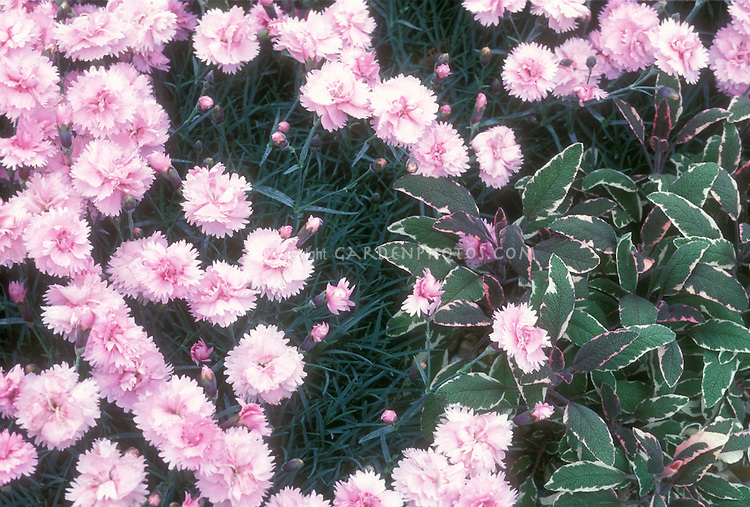 Dianthus fragrant perennial pinks planted with culinary sage herb Salvia officinalis variegated leaf type