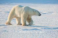 01874-13607 Polar Bear (Ursus maritimus)  Churchill Wildlife Management Area, Churchill, MB