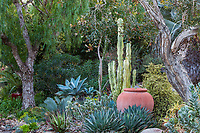 Patrick Anderson Southern Caifornia garden of succulents using Euphorbia ammak, Portulacaria, Agave and Aloe under Melalueca and Schinus trees, with concrete urn as focal point