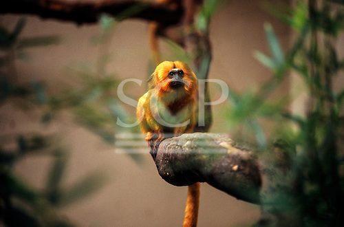 Poco das Antas Reserve, Brazil. Golden Lion Tamarin monkey, 'Mico Leao'; Leontopithecus rosalia; on the Cites red list as an endangered species.