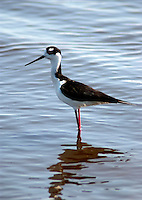 A Black necked Stilt looks for prey in the water at the Stick Marsh near Felsmere, Florid