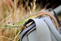 "Eifel, Germany, August 2010. A rare lizzard on a backpack.  From the flat north near Aachen, over the ""Hohes Venn"" (or ""High Fen""), through the lonesome Rurtal, past imposing dams, the ""Eifel National Park"" and over the lime Eifel and Vulkaneifel to the Southern Eifel, the Eifelsteig passes through a wide variety of areas, constantly revealing new landscapes to hikers. 313 kilometres of the Eifelsteig - a good 300 kilometres of varied, natural tracks, with a large number of bare paths, magnificent views, and a variety of different formations. Photo by Frits Meyst/Adventure4ever.com"