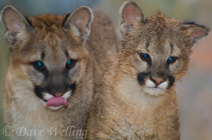 656320006 captive wildlife rescue mountain lion cubs wichita a male and zuna a female felis concolor at the wildlife waystation wildlife recovery and care facility in southern california