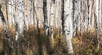 Taken on the Alpine Loop on Route 92 outside of Sundance, Utah.  What's left of these aspens are magically contrasted by the ferns on the forest floor.