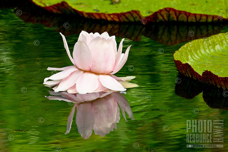 Water lily (Naymphaea) in calm pool.