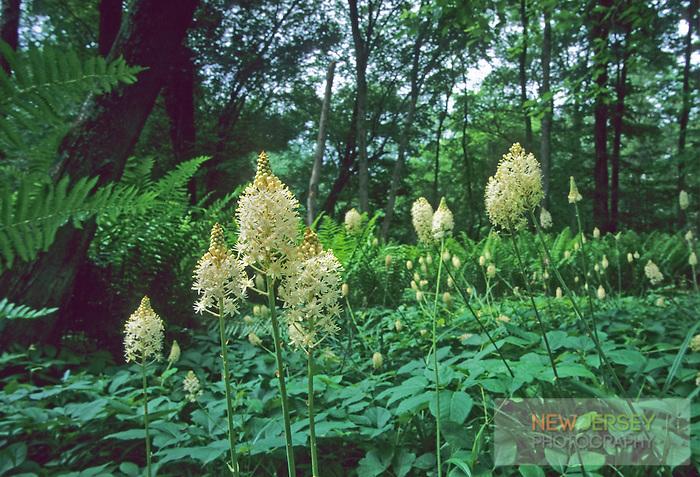 Wild Turkey Beard Blooms, Bear Swamp, Medford, New Jersey