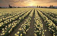 Field of yellow daffodils at sunrise, Mount Vernon, Skagit Valley, Washington