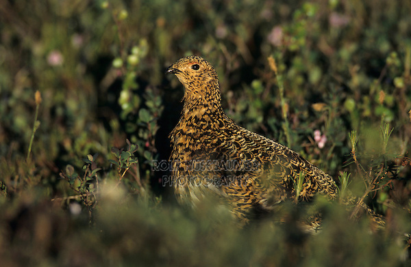 Willow Ptarmigan, Lagopus lagopus,female, Gednjehogda, Norway, June 2001