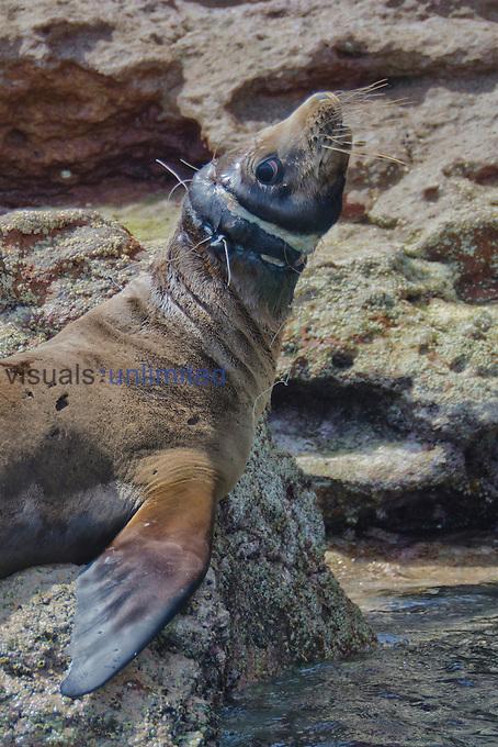 California Sea Lion endangered with plastic fishing net on its neck (Zalophus californianus), Los Islotes, Baja California, Mexico, Sea of Cortez, Pacific Ocean.