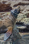 California Sea Lion endangered with plastic fishing net on its neck (Zalophus californianus), Los Islotes, Baja California, Mexico, Sea of Cortez, Pacific Ocean.