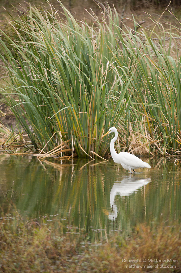 Columbia Ranch, Brazoria County, Damon, Texas; a Great Egret (Ardea alba) bird forages for food in the shallow water of the slough