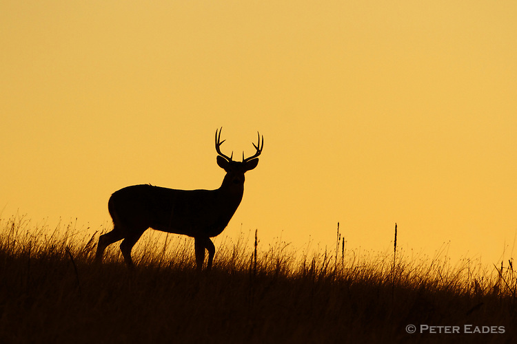 Whitetail Deer Buck at Sunrise