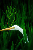 Great Egret, Ardea alba, peers out of leaves in corkscrew swamp, Florida