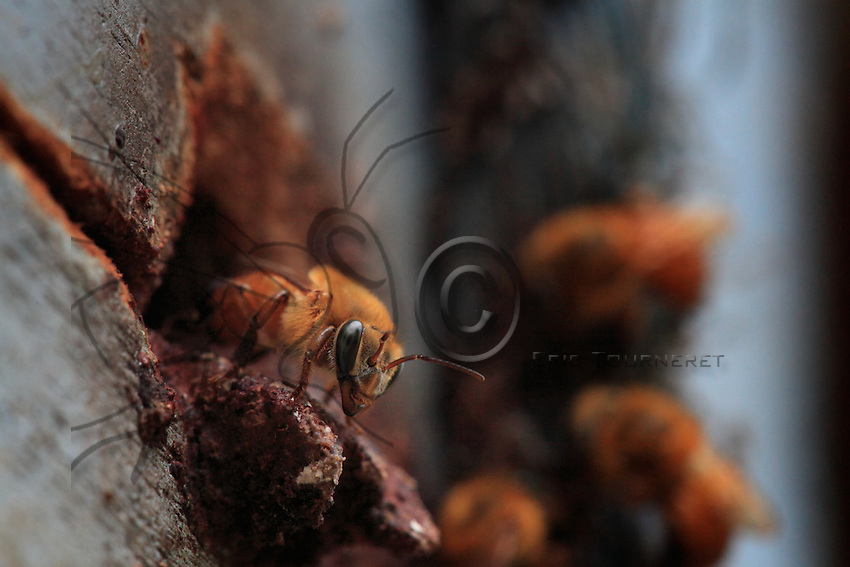 At the hive entrance , a melipone bee, Melipona flavolineata, guards its nest.