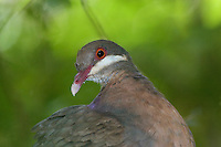 Bridled Quail-Dove; Geotrygon mystacea; St. John, Virgin Islands, Cinammon Bay