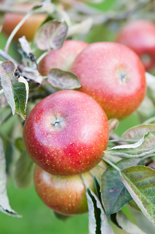 Apple 'Heusgen's Golden Reinette', late September. A red-flushed German dessert apple from Elsen, Rhine. Introduced in about 1877 and named after the pomologist Peter Heusgen.