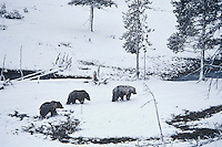 Grizzly Bears--sow with two yearling cubs--walk through spring snowstorm in Rocky Mountains.  May.