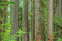 Old-growth Forest in Mt. Rainier National Park