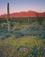 Organ Pipe National Monument, AZ:  Saguaro cactus in a field of Mexican gold poppies with moonrise over the Ajo Mountains