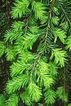 7651-CD Sargent's Weeping Hemlock, Tsuga canadensis `Pendula', bright green new growth, at Dayton, Oregon