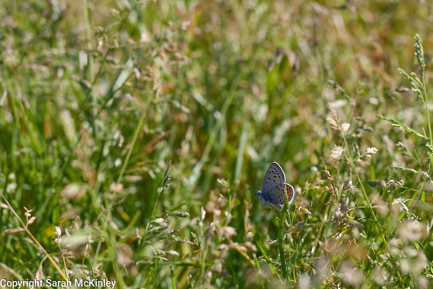 A Columbian Blue Butterfly resting in a field of tall grasses near Ukiah in Mendocino County in Northern California.