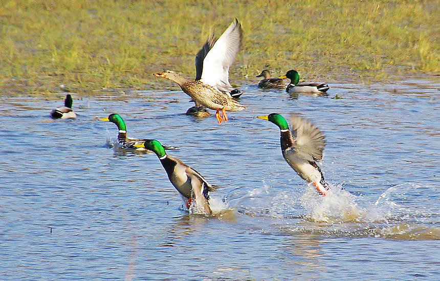 Image result for mallards flooded field