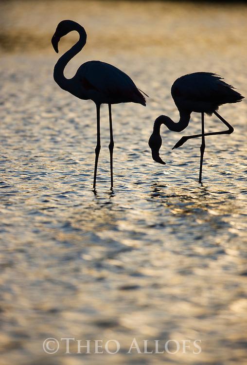 Greater Flamingo (Phoenicopterus roseus) in lagoon, backlit, Pont Du Gau, Camargue, France