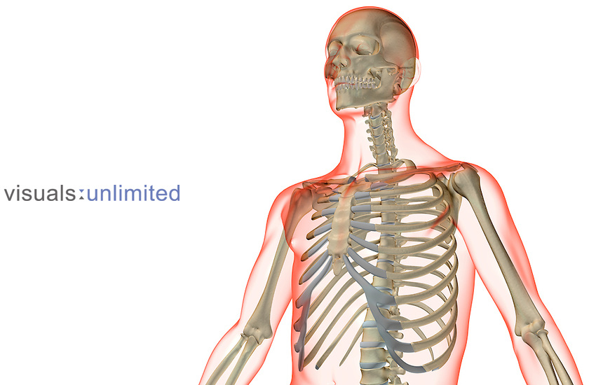 An anterolateral view (left side) of the bones of the upper body. The surface anatomy of the body is semi-transparent and tinted red. Royalty Free