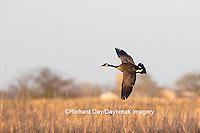 00748-05806 Canada Goose (Branta canadensis) in flight, Marion County, IL