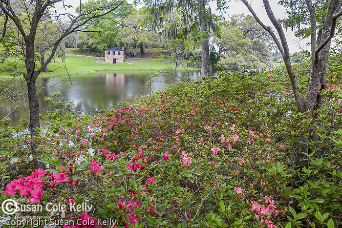 Azalea garden at the Rice Mill Pond at Middleton Place Plantation, Ashley River Road, Charleston, SC