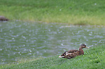 The weather was better for ducks than golfers during the Barracuda Championship PGA golf tournament at Montrêux Golf and Country Club in Reno, Nevada on Friday, July 26, 2019.