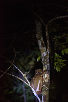 Africa, Madagascar, Andasibe. VOIMMA Reserve. Brown mouse lemur at night.