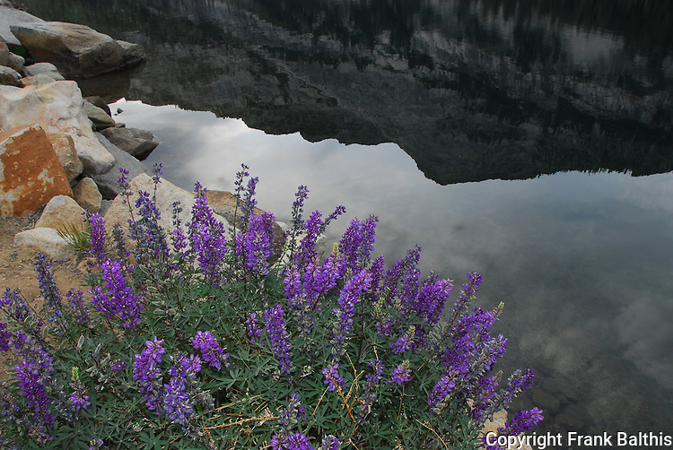 Lupine at Lake Tenaya