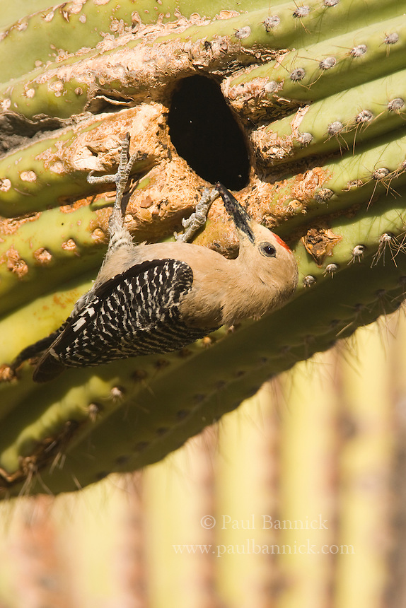 The eyes of two chicks glow within a Saguaro cavity.  This woodpecker plays a keystone role, both for helping to ensure that the saguaro cactus is polinated, and for creating the nest cavity of choice for the threatened Ferruginous Pygmy-Owl.