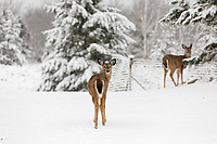 Two white-tailed does in a wintery Wisconsin backyard.
