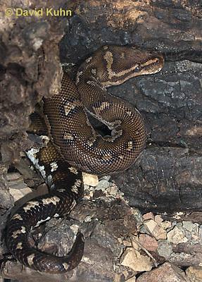 0420-1105  Anchieta's Dwarf Python (Anthony Python), African Python, Python anchietae  © David Kuhn/Dwight Kuhn Photography