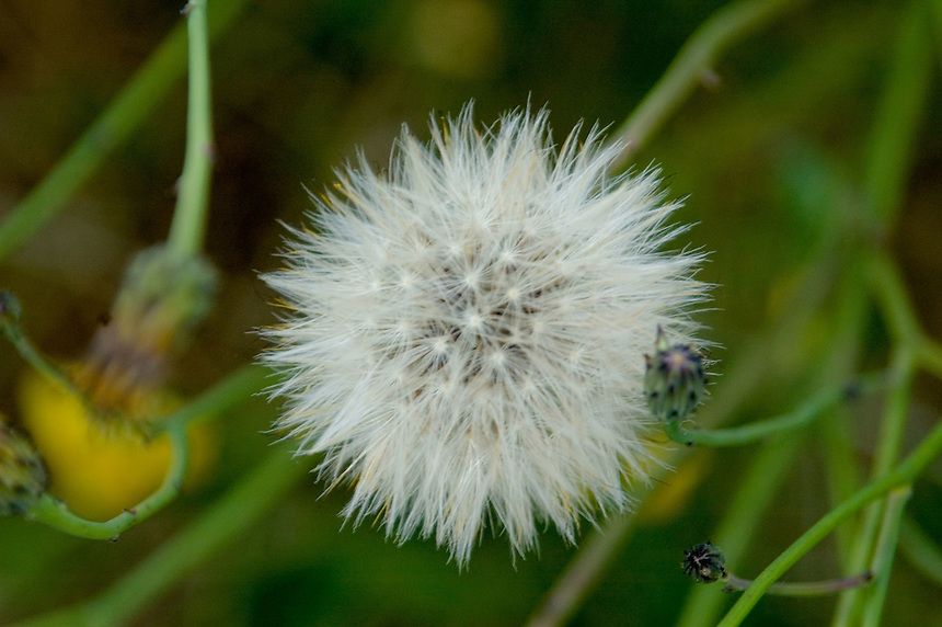 False Dandelion, Hairy Cat's Ear, Spotted Cat's Ear (Hypochaeris Radicata), Mt. St. Helens National Volcanic Monument, Washington, US