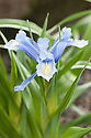 Iris aucheri, glasshouse, early March.