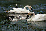 Trumpeter swans and cygnets feeding in water in Wyoming.