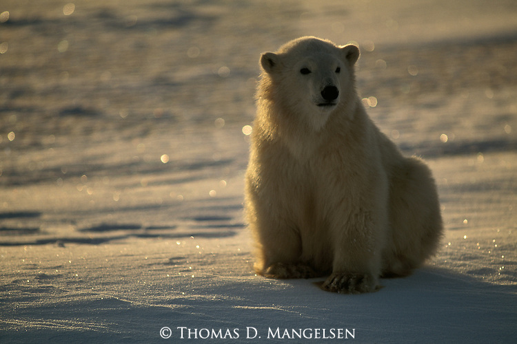 A polar bear cub sits in the snow.