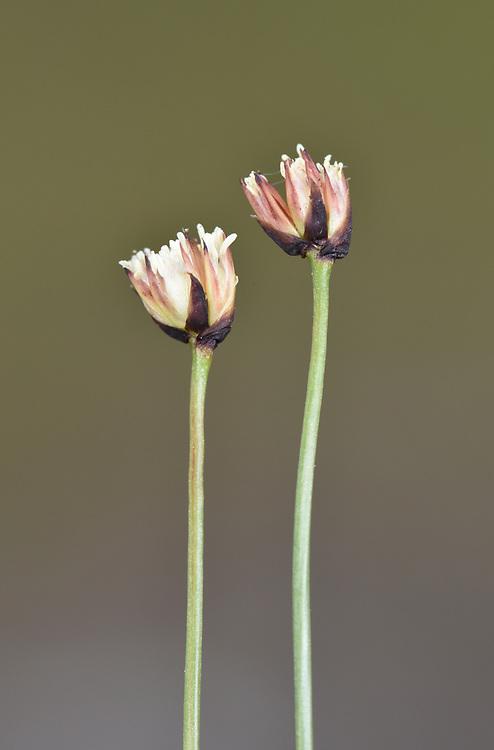 Three-flowered Rush - Juncus triglumis